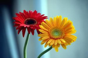 yellow and red daisy flowers
